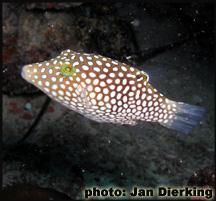 http://www.explorebiodiversity.com/Hawaii/BiodiversityForgotten/Wildlife/Fish/Pics/Tetraodontidae-Canthigaster.jpg